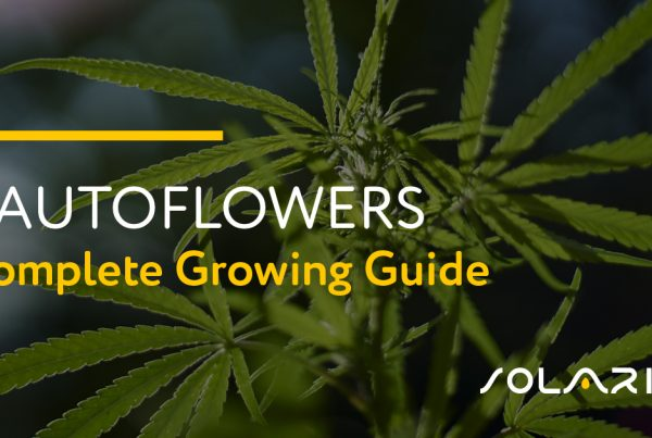 Autoflowers: Complete Growing Guide