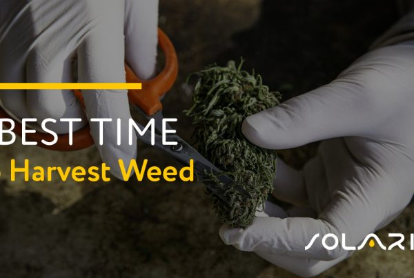 Best Time to Harvest Weed