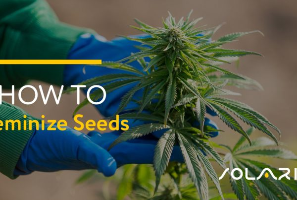How to Feminize Seeds