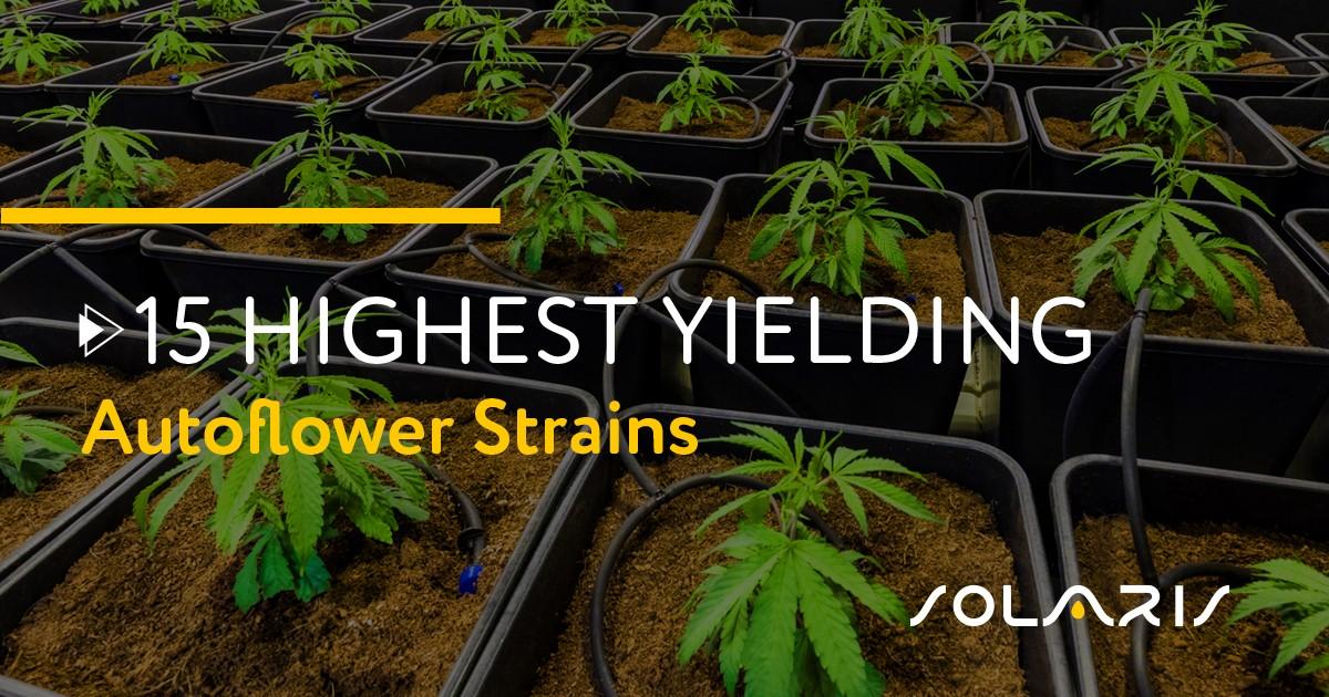 Highest Yielding Autoflower Strains